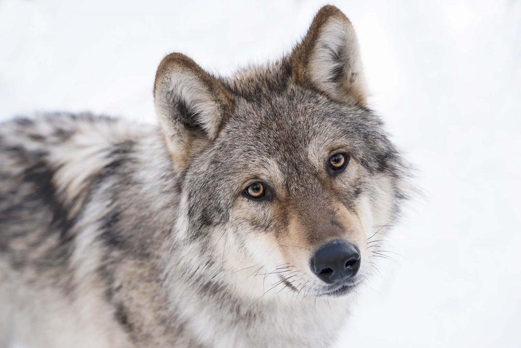 les saisons loup